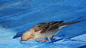 Sparrow bird drinking water. Little sparrow drinking water from a small leak on a blue wooden floor Royalty Free Stock Photo