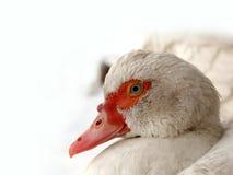 Bird  duck Stock Photo