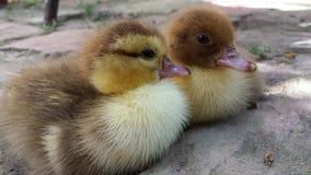 Bird, Duck, Fauna, Beak Royalty Free Stock Images