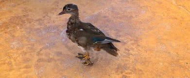 Bird, Duck, Fauna, Beak royalty free stock photo