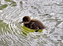 Bird, Duck, Fauna, Water stock photos