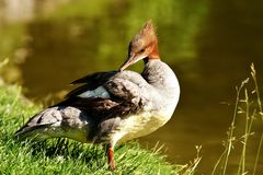 Bird, Duck, Fauna, Water Bird royalty free stock photography