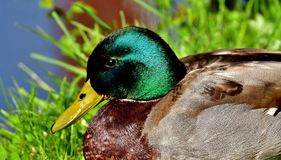 Bird, Duck, Fauna, Water Bird royalty free stock photo