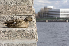 Bird, duck female with brown feathers sitting on the stone stair. Bird, duck female with brown feathers sitting on a stone staircase and looks down at the sky Royalty Free Stock Image
