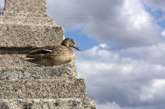 Bird, duck female standing on stone stairs, on the background of. Blue sky with white and gray clouds Royalty Free Stock Photography