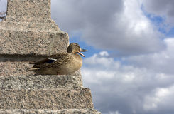Bird, duck female standing on the stone stairs and opened the be. Ak, on the background of blue sky with white and gray clouds Royalty Free Stock Image