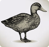 Bird duck, hand-drawing. Vector illustration. Royalty Free Stock Images