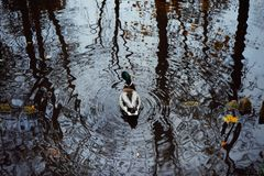 Duck bird water reflection outdoor trees park autumn nature. Bird duck lake water reflection trees outdoors nature close-up autumn leaves Stock Photo