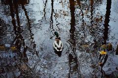 duck bird water reflection outdoor trees park autumn nature Stock Photo