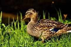 Bird, Duck, Mallard, Water Bird Stock Image