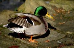 Bird, Duck, Mallard, Water Bird Stock Photos