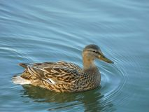 Bird, Duck, Mallard, Water Bird Royalty Free Stock Photography
