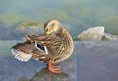 Bird, Duck, Mallard, Water Bird Royalty Free Stock Image