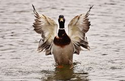 Bird, Duck, Water Bird, Ducks Geese And Swans Royalty Free Stock Images