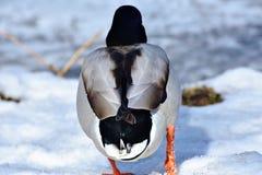 Bird, Duck, Water Bird, Ducks Geese And Swans Stock Image