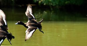 Bird, Duck, Water Bird, Fauna stock photography