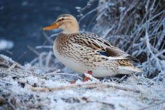 Bird, Duck, Water Bird, Mallard Royalty Free Stock Photos