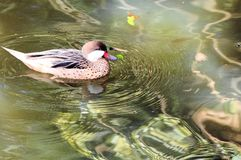 Bird, duck in water royalty free stock image