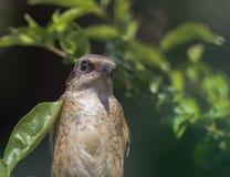 Bird - Dusky Leaf Warbler, Phylloscopus fuscatus Stock Images