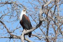Bird, Eagle, Bird Of Prey, Accipitriformes stock image