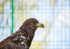 Bird eagle closeup day. Head. In the daytime stock photos
