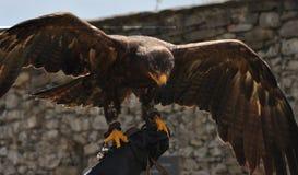 Bird - eagle Stock Photo
