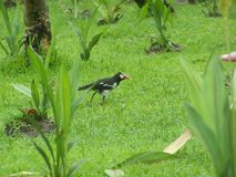 Bird A earn one's living on the grass is luscious the dew Royalty Free Stock Photos