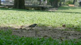Bird eat insect in the park. Clip Bird eat insect in the park stock video footage