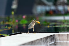 Bird eat little fish. Little bird eat little fish Royalty Free Stock Photography