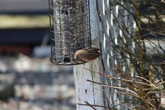 Bird eating in the backyard. Feeder Royalty Free Stock Photography