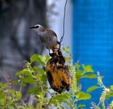 Bird eating banana Stock Image