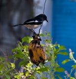 Bird eating banana Royalty Free Stock Photo