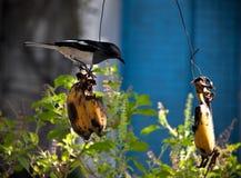 Bird eating banana Stock Photos