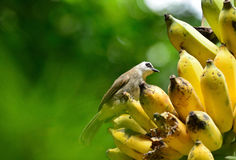 Bird eating bananas Stock Photography