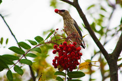 Bird eating a berry Stock Images