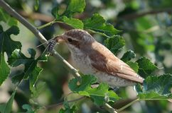 Bird eating bug royalty free stock photography
