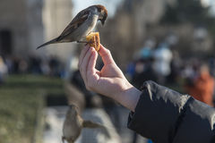 Bird eating from child's hand Stock Photo