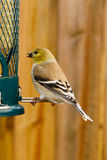 Bird eating. Bird feeding on bird feed Stock Image