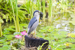 Bird is eating a fish in Bali Royalty Free Stock Photos