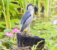 Bird is eating a fish in Bali Royalty Free Stock Image