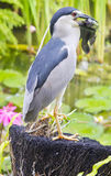 Bird is eating a fish in Bali Stock Image