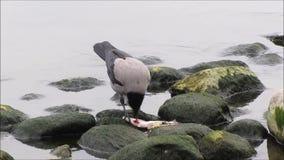 Bird Eating Fish stock video