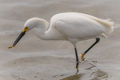 A snowy egret eating a fish. stock image