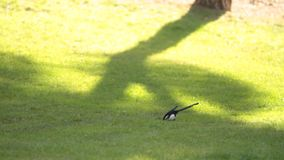 Bird eating on the grass. Video of Bird eating on the grass stock footage