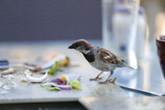 Bird eating human food leftovers at the outside restaurant table stock photos