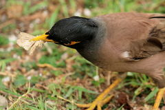 Bird eating Insect. Portrait of Common Myna holding insect royalty free stock images