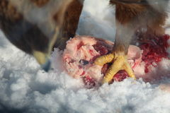 Bird eating meat Royalty Free Stock Photo