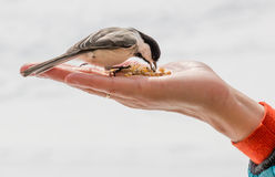 Bird Eating Out of a Hand Royalty Free Stock Images