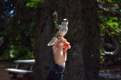 Bird eating out of human hand Stock Photo