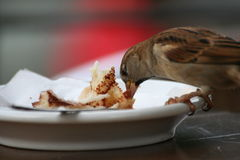Bird eating from a plate Royalty Free Stock Photography